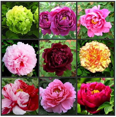 22 kinds Pretty Peony Seeds 12pcs/pack High Quality Peony Flower Seeds Potted Flowers Bonsai Plant Seeds for Home Garden