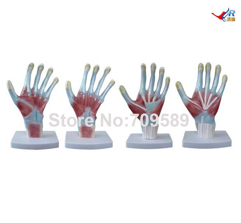 ISO Palm Model, Hand Anatomy  model, Anatomical Model iso iv training hand venipuncture hand model iv injection hand model