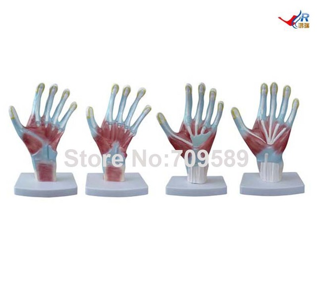 ISO Palm Model, Hand Anatomy model, Anatomical Model-in Medical ...