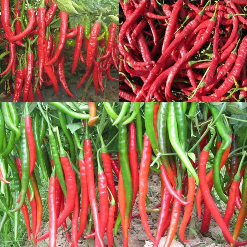 New Arrival 120 pcs Giant Spices Red Hot Pepper bonsai Plants Garden Supplies Organic Vegetable Chili Plant Terrace Potted in Bonsai from Home Garden
