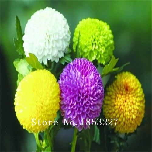 GGG 100 Rainbow Chrysanthemum seeds Bonsai Flower Seeds DIY Home Garden flower plant