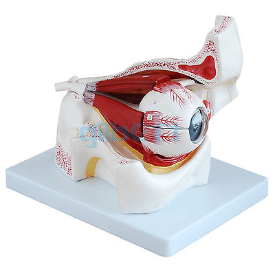 Human Eyeball and Socket Model Anatomical Medical 3X Life Size Learning Kit