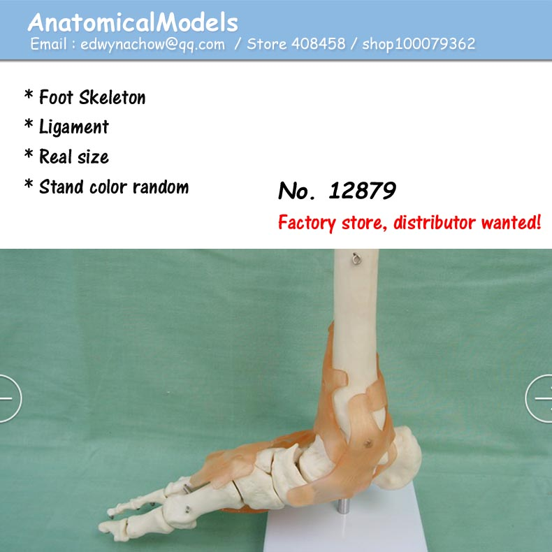 12879 Life Size Human Foot Ankle Skeleton With Ligamen Model