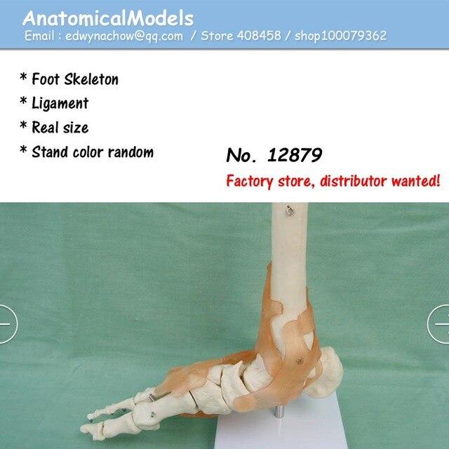 12879 Life Size Human Foot Ankle Skeleton with Ligamen Model ...