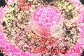 TCR339 Americano Fantasía Rosa Iridiscente polvo del brillo de Oro Ronda Dot Forma para uñas de Arte u otros DIY decoración