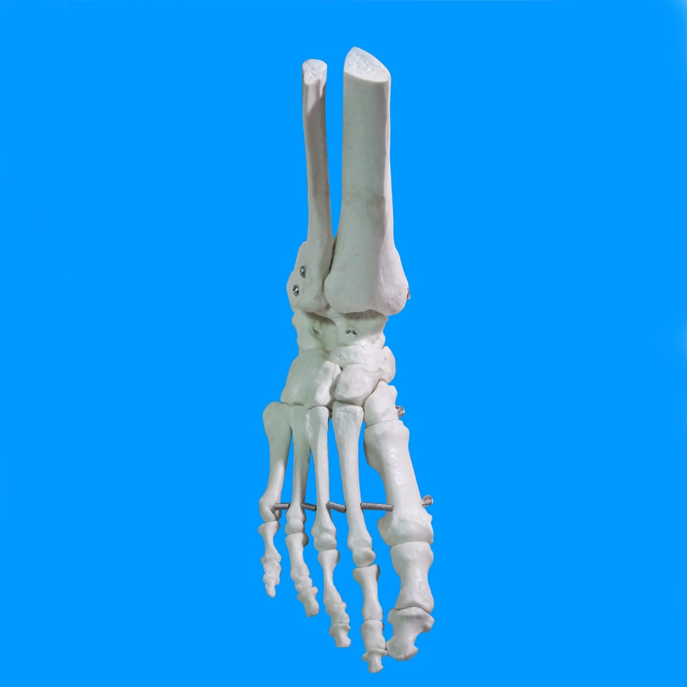 Human Foot Bone Model Foot Sole Joints of Foot Ankle Tibia and Fibula Foot Model Department of Orthopedics Teaching for Medical femur with tibia human fibula skeleton model 1 1 tibia and fibula bones skeleton medical teaching model gasen fzg007