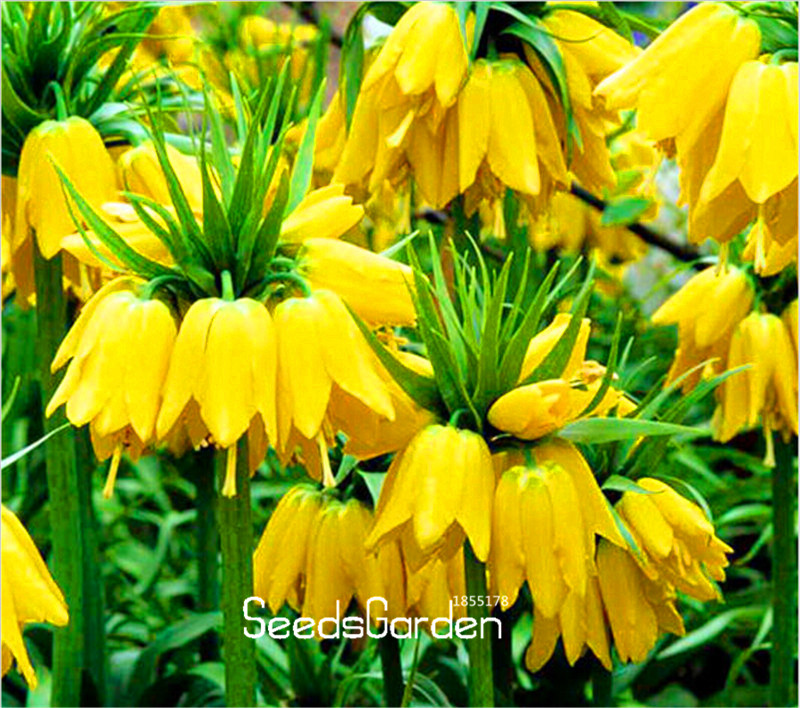 Promotion!10 Pcs/Bag Yellow Imperial Crown Seeds imperialis Lutea Seeds Easy To Grow Home Garden Ground Cover Plant,#LA01DW