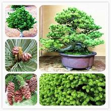4859f62656 Galeria de pinus bonsai por Atacado - Compre Lotes de pinus bonsai a ...