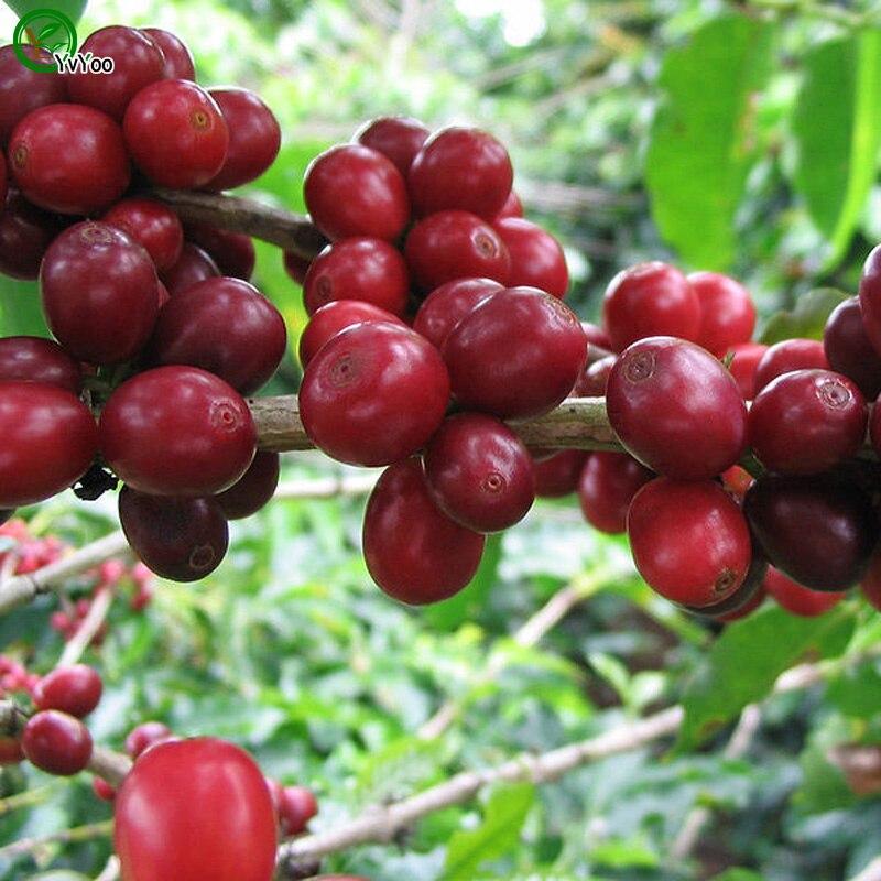 refrescante caf frijol semillas semillas de rboles bonsi muy hermoso rbol de interior planta de jardn
