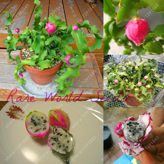 Pitaya Seeds bonsai fruit tree Dragon Fruit Seeds DIY Home garden 100pcs