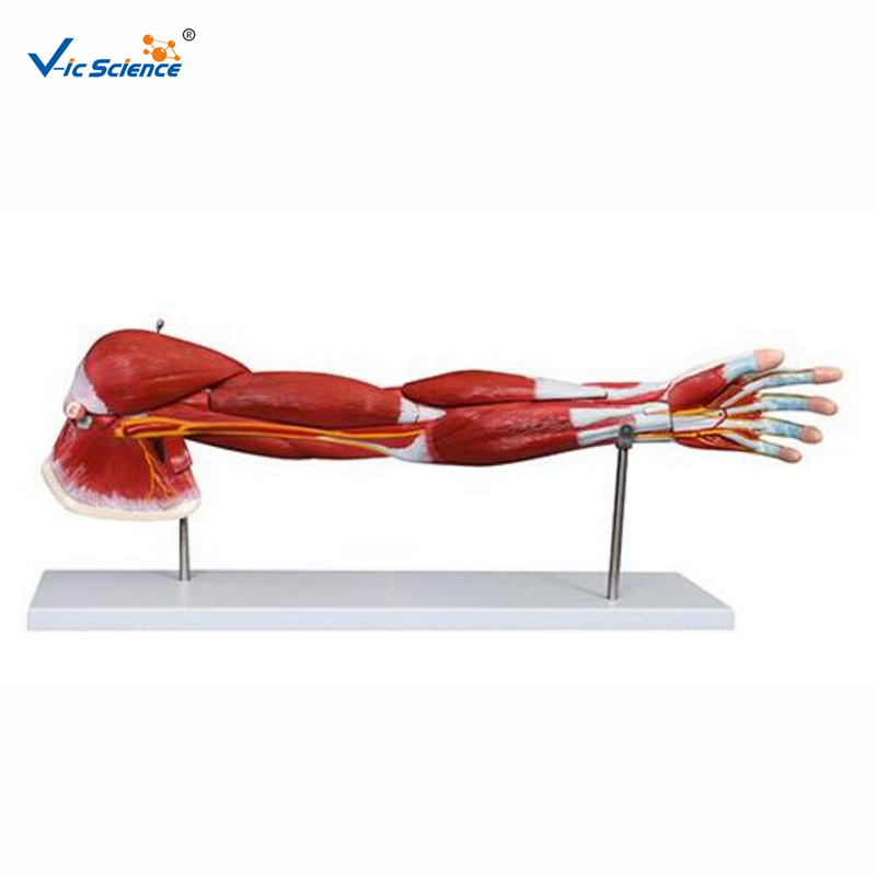 Medical Human Arm Muscle Anatomical Model 7parts