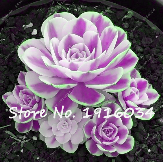 50Pcs Mini Potted Succulents Seed Stone Rare Lotus Flower Seeds Garden  Decoration Bonsai Flower Seeds Germination Rate Of 99%