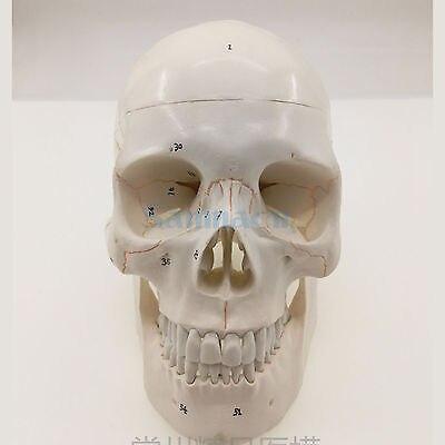 Modèle de crâne humain numéroté naturel taille de la vie os Suture claire mat PVC ressources pédagogiques