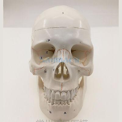 Numbered Human Skull Model Natural Life Size Bone Suture Clear Matt PVC Teaching Resources бордр settecento hamptons bombato matt bone 2x30