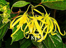 100 Pcs/Pack Time-Limit!!Cananga odorata, Ylang-Ylang Tree, container or indoor plant flower seeds