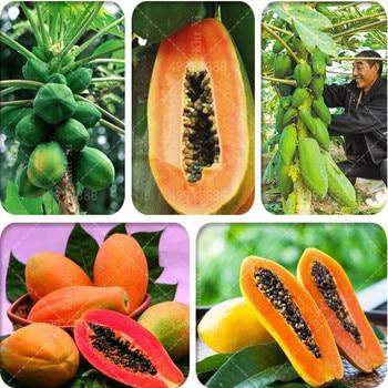 Sales! 30 pcs Sweet Maradol Papaya bonsai Outdoor Edible Tropical Juicy Jardin Fruit Heirloom Organic Garden Dwarf Fruit Tree