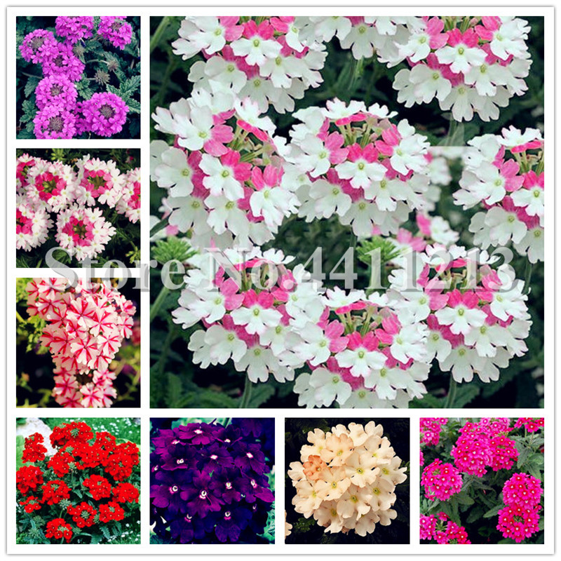 Hot Sale 100 Pcs Verbena Hybrida Bonsai, Verbena Potted, Perennial Indoor Herbal Flowering Plants For Home&garden Planting