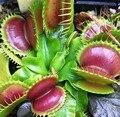 100 semillas / pack familia Cordyceps alimentos semillas magia extraña Venus atrapamoscas Seed planta insectívora semillas