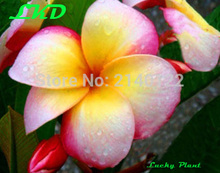 7-15inch Rooted Plumeria Rubra Plant Thailand Rare Real Frangipani Plants no136-lady-george-town-3