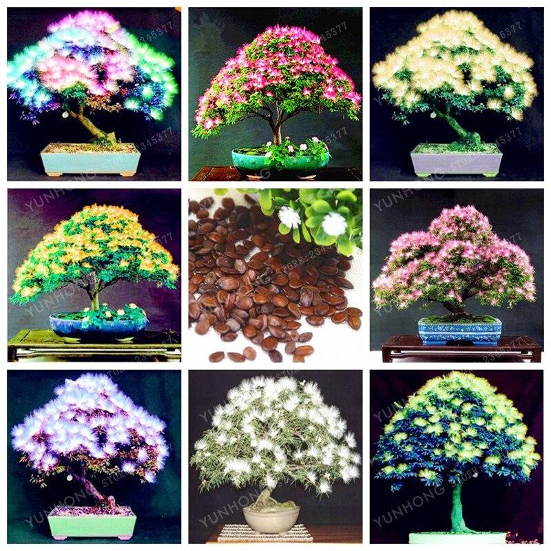 20 Pcsbag Acacia Tree Bonsaialbizia Julibrissin Bonsai Flower
