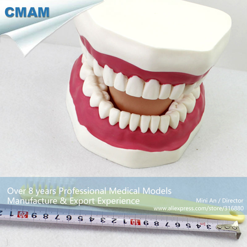 12562 CMAM-DENTAL03 Giant Tooth Brushing Model by China Medical Anatomical Model dh202 2 dentist education oral dental ortho metal and ceramic model china medical anatomical model