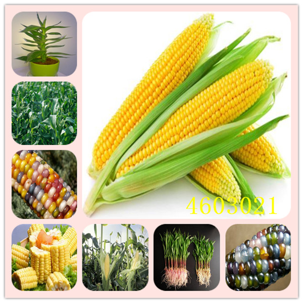 Garden Pots & Planters Super Sweet Fruit Corn Bonsai Cultivation Sweet Waxy High Yielding Species Can Be Eaten Raw Corn 30 Pcs Free Shipping Vegetable Terrific Value