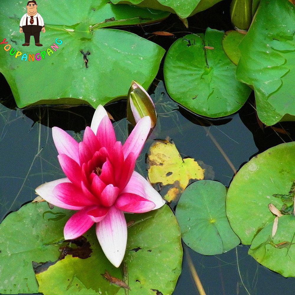 Aliexpress Buy 5 Pcsbag True Lotus Flower Plants Hydroponic