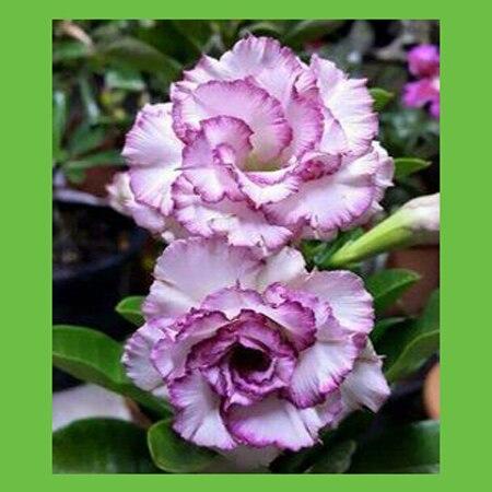 Beautiful white with purple edges Desert Rose seeds petals potted bonsai seeds home garden plants flower seeds 1PCS