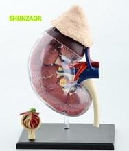 4D الكلى البشرية نموذج للتدريس معدات طبية الطب نموذج لغز تجميع اللعب