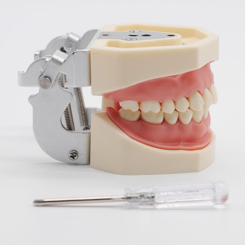 Dents de gomme molle de laboratoire de dentisterie modèle de remplacement des dents pour la pratique d'étudiant d'étude dentaire