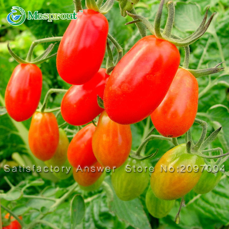 Loss promotion 100pcs red cherry tomatoes seed balcony for How to grow cherry tomatoes from seeds