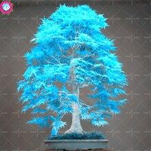 Buy 10PCS elegant powder blue Japanese maple seeds m online