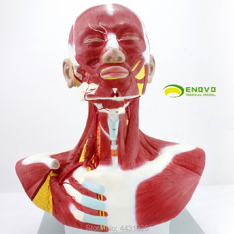 ENOVO Human head division muscle anatomical cervical thoracic model neck anatomical beauty dissection medical sagitally section model about tissue decomposition model for doctor patient communication model with magnetic