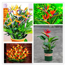 100 Pcs/Lot Strelitzia Reginae Aiton Bonsai Plants Rare Heaven Bird Flower Potted Planting for Home Garden Decoration