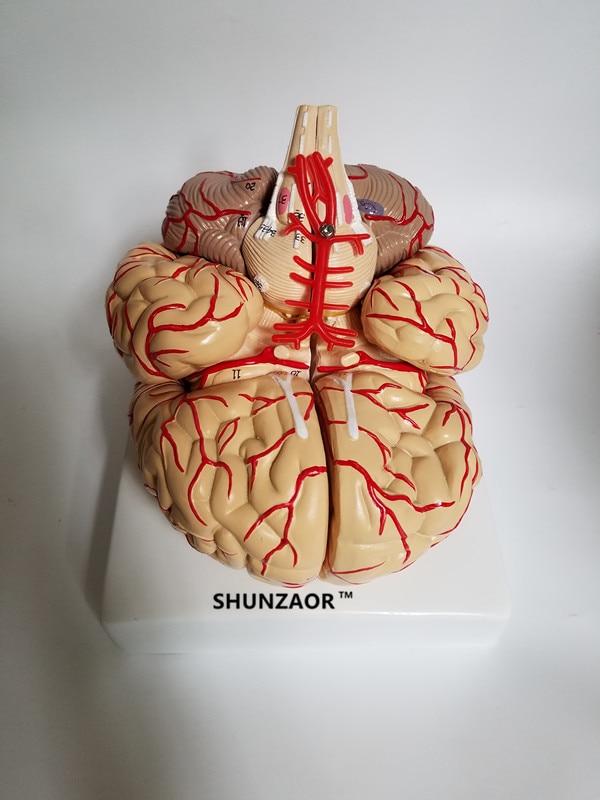 PVC big brain anatomy model brain model arteries Medical Anatomical ...