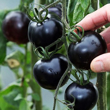 Potted Seasons Vegetable Cherry Fruit Tomato Seed Black Princess Seed Black Pearl F1 Cherry Small 100Seeds