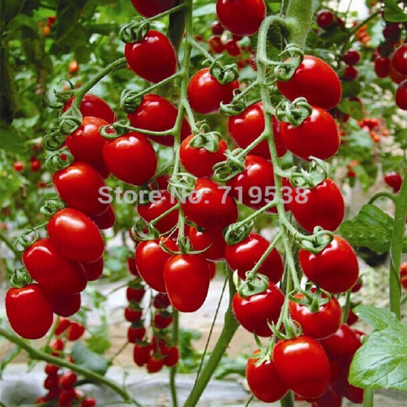 New Milk Red Tomato Bonsais Cherry Tomatoes Tomato Bonsais Organic Fruits And Vegetables 200pcs Bonsai Particles In Bonsai From Home Garden Realistic Art Flower