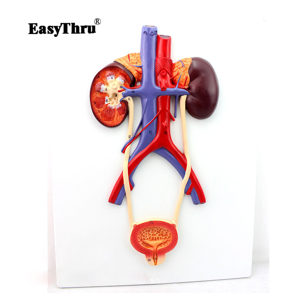 Hi Q Urinary System Model High definition Urinary System Medical Teaching Model Imported PVC Material Urology