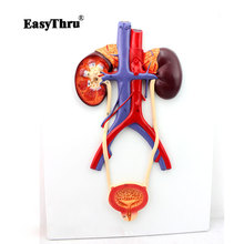 Hi-Q Urinary System Model High-definition Urinary System Medical Teaching Model Imported PVC Material Urology Model все цены