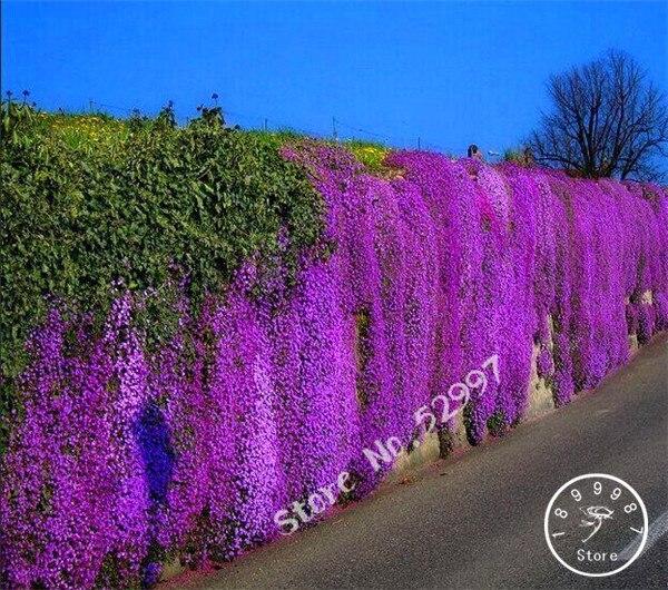 200 Pcs/lot Rock Cress,Aubrieta Cascade Purple FLOWER