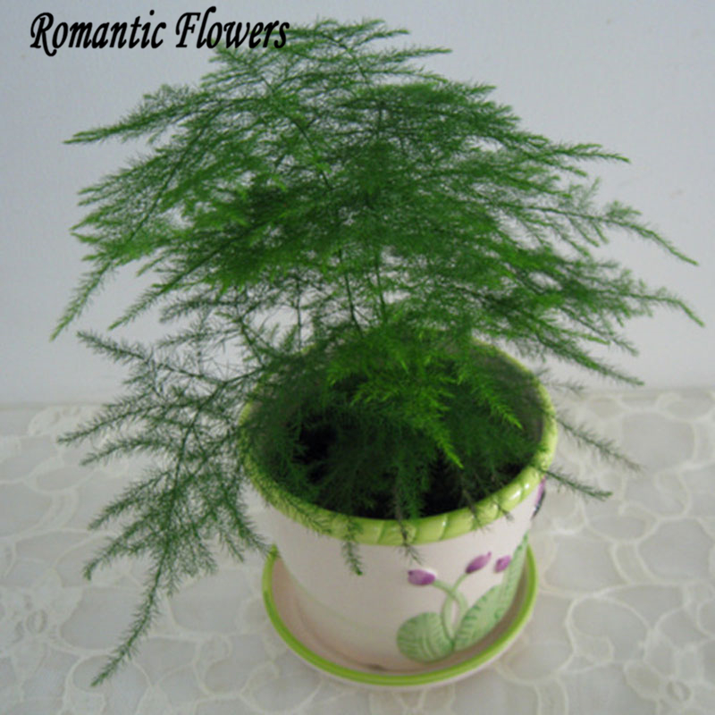 Online Buy Wholesale asparagus fern plants from China ...