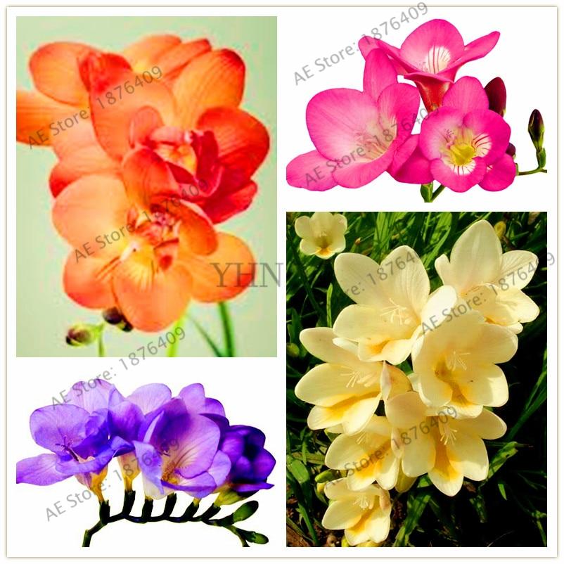 100 шт./пакет фрезия сад, фрезия лампы цветок фрезии Цветочные луковицы карликового дерева цветы орхидеи фрезия корневища луковичные цветы
