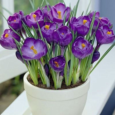 Crocus Bulbs Indoor Potted Plants Desktop Saffron Flower Plant ...