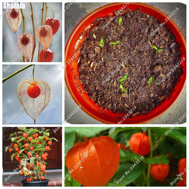 Chinese Lantern Seeds, Heirloom Seeds, Dried Flowers, Eye Catching Blooms, Can Edible Fruit Seeds Orange Tomato Seeds 100 Pcs