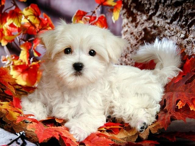 kosočtverec malování bílý pes, štěně pes, malování kamínky - Umění, řemesla a šití
