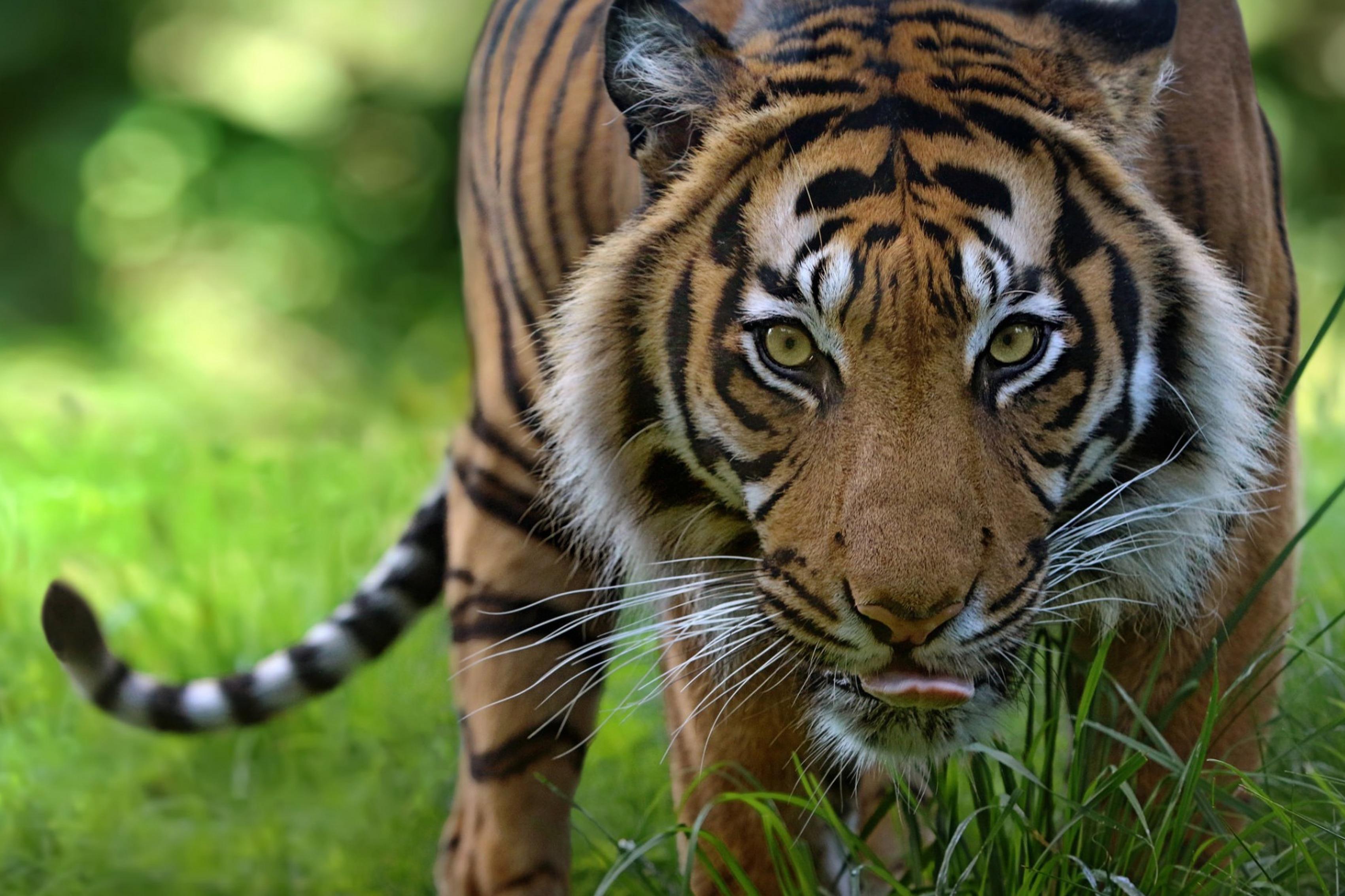 ③Cara de gato salvaje predador Tigre mirada Sala Arte decoración ...