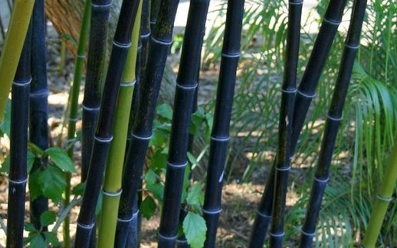 Semi di bambu 39 bamboo di moso nero black phyllostachys for Bamboo coltivazione