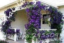 on sale 100pcs rare purple climbing clematis seeds flower clematis vines bonsai flower seeds perennial flowers outdoor plant