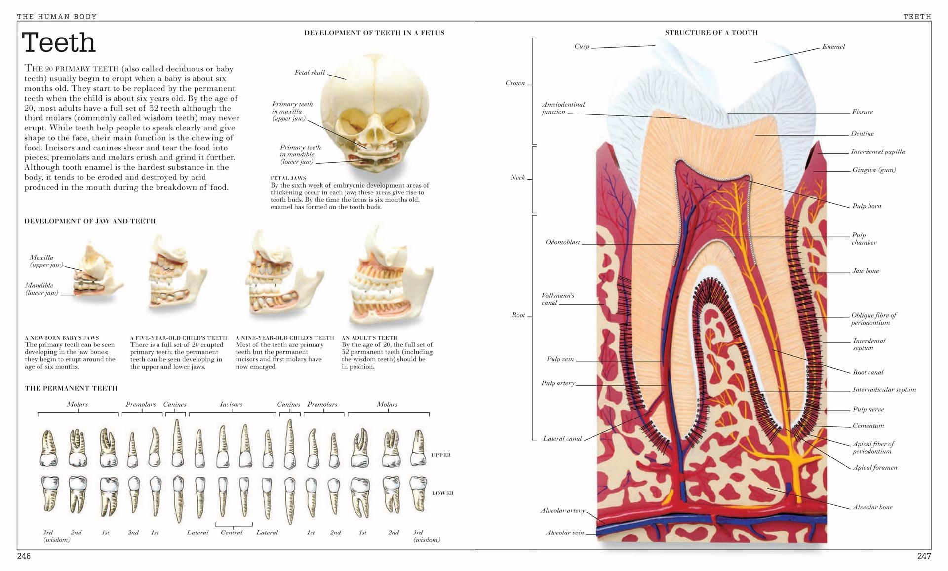 Vintage Human Anatomy Encyclopedia Poster Teeth Classic Canvas