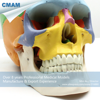 12333 CMAM SKULL07 Colored Function Skull Didactic Models Life Size 3 Parts, Medical Science Educational Anatomical Models